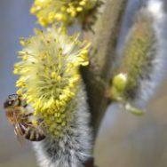 Bienenweidepflanzen