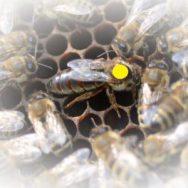 Bienenköniginnen