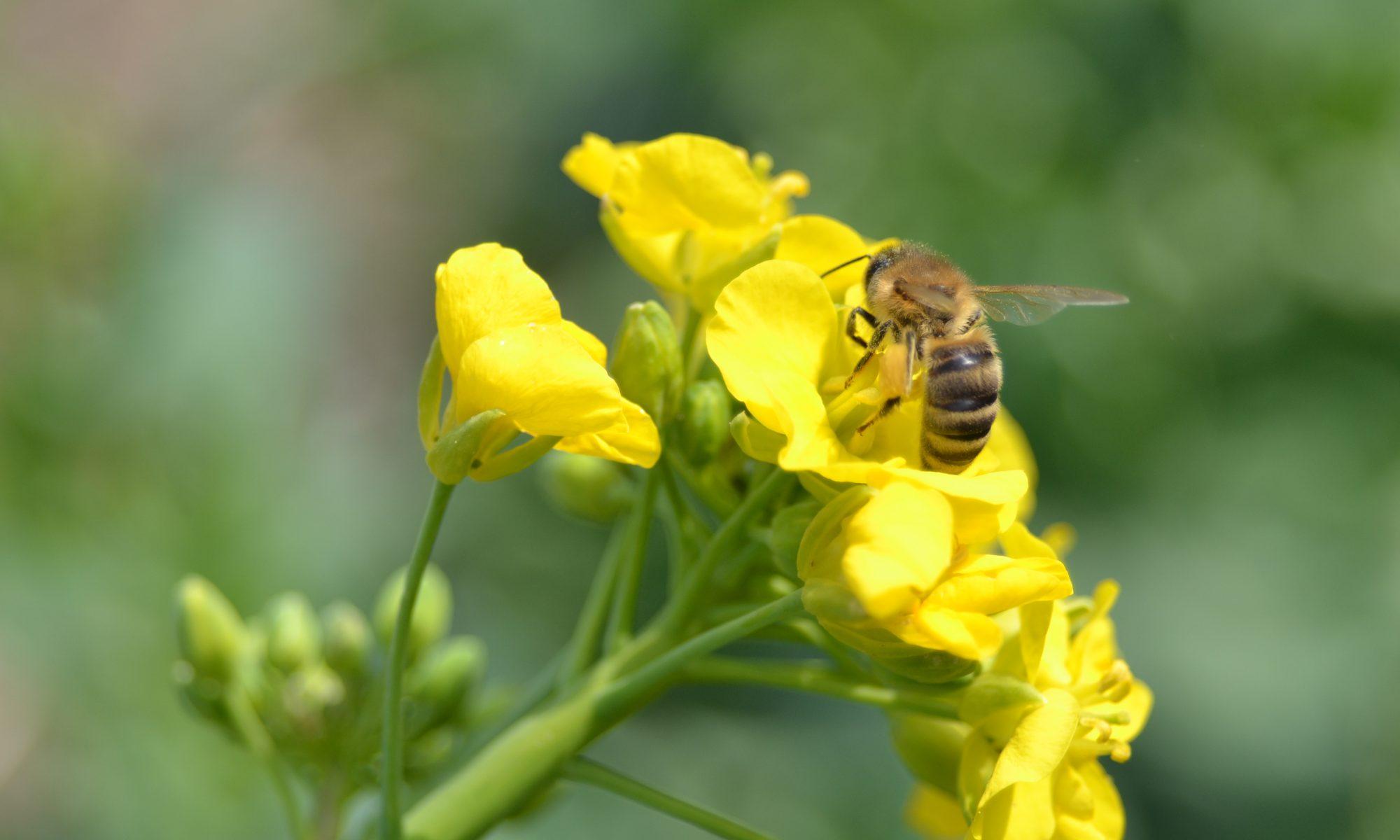 Deutsche Bienen